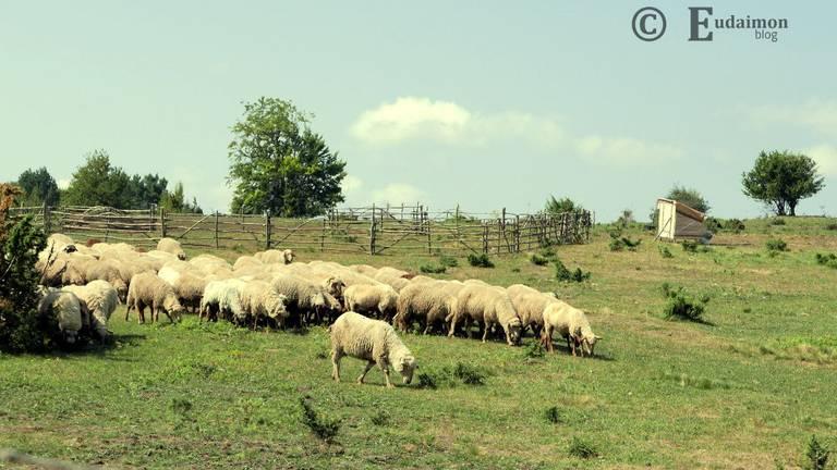 Owce na górskiej hali © Eudaimon blog